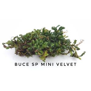 Bucephalandra Mini Velvet Porsi Clump Tanaman Aquascape