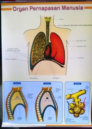 Jual Buku Biologi Alat Peraga Poster Organ Pernapasan Manusia