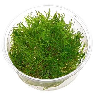 Moss Taiwan Bahan Percup Tanaman Aquascape Taxiphyllum Sp