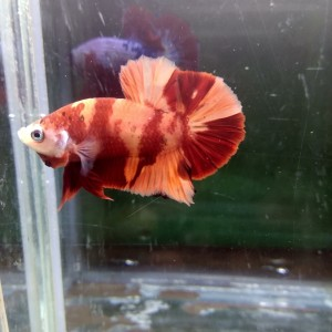 Gambar Ikan Cupang Koi Nemo Gambar Ikan Hd