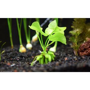 Tanaman Aquascape Banana Plant