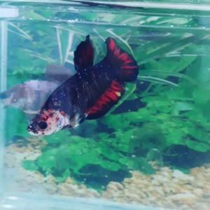Jual Ikan Cupang Black Fire Avatar Kota Samarinda Betta Borneo Tokopedia