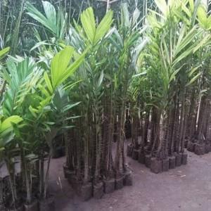 Jual Bibit Salak Jantan Kab Banjarnegara Chavid Farm Tokopedia