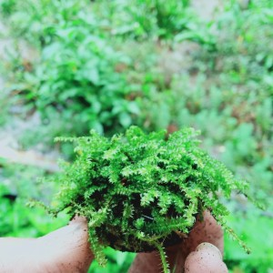 Jual Wabikusa Mos Darat Untuk Paludarium Kab Bogor Arino Aquaticplants Tokopedia