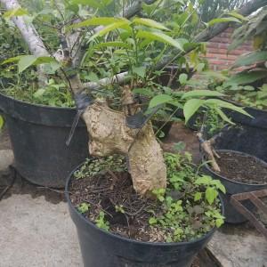 Jual Bahan Bonsai Mentaos Kota Batu Nirvana Flora Tokopedia