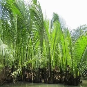 Jual Gula Nipah Gula Dahon Jakarta Pusat Tanaman Herbal Ind Tokopedia