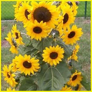 Jual 3 Biji Benih Bunga Matahari Sunflower Jakarta Barat Panindevelopment Tokopedia
