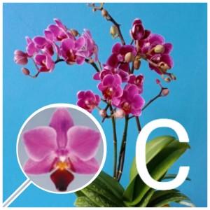 Anggrek Orchidnesia godean.web.id