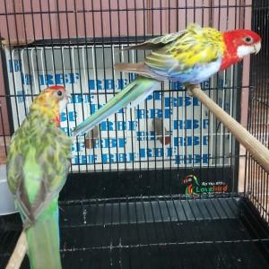 Jual Burung Import Australia Parkit Rosella Sepasang Jakarta Utara Satrio Rbf Tokopedia