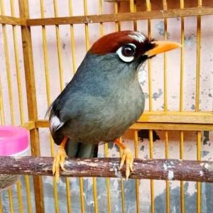 Jual Promo Burung Poksay Mandarin Jantan Sudah Gacor Koleksi Pribadi Kota Tangerang Cullen Mart534 Tokopedia