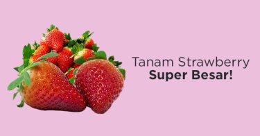 Benih Strawberry Jumbo