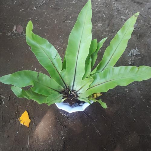 Foto Produk tanaman kadaka tempel dari TanamAKU