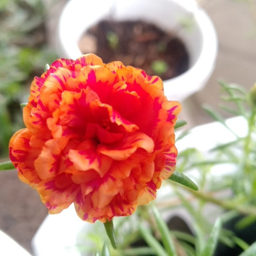 Foto Produk Mossrose / portulacca / krokot SALEM list ORANGE dari Kenzie Watch