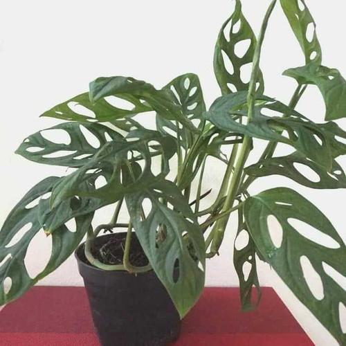 Jual Tanaman Philodendron Monstera Obliqua Tanaman Janda Bolong Kota Batu Rich Plants Tokopedia