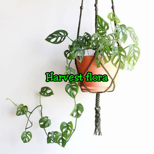 Jual Asli Tanaman Janda Bolong Daun Bolong Monstera Obliqua Kab Bogor Harvest Flora Tokopedia