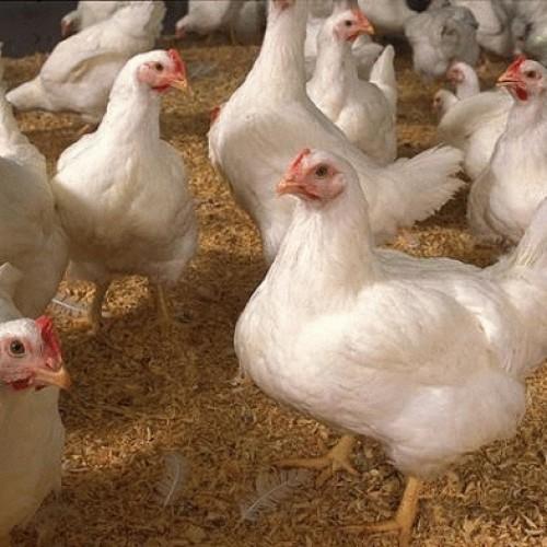 Jual Kesempatan Menjadi Agen Ayam Broiler Dengan Keuntungan Berlipat Ganda Cirebon Rlsdn 99655 Tokopedia