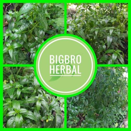 Foto Produk daun sambiloto segar sambiloto organik dari BIGBRO Dropshiper