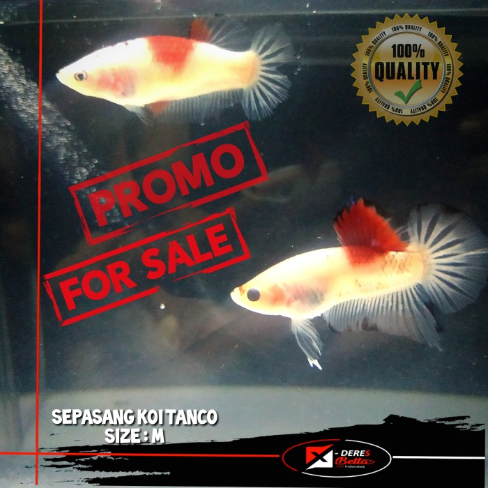 Jual Ikan Cupang Koi Tanco Sepasang Cupang Koi Tanco Spair Cupang Murah Jakarta Barat X Deres Betta Store Tokopedia