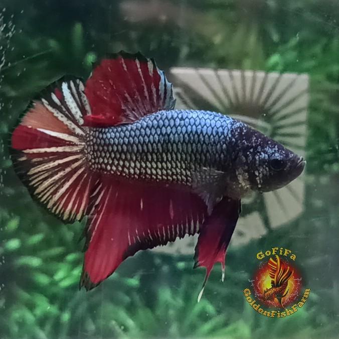Jual Ikan Cupang Hias Cantik Betta Fish Plakat Copper Nemo Kota Palembang Goldenfishfarm Tokopedia