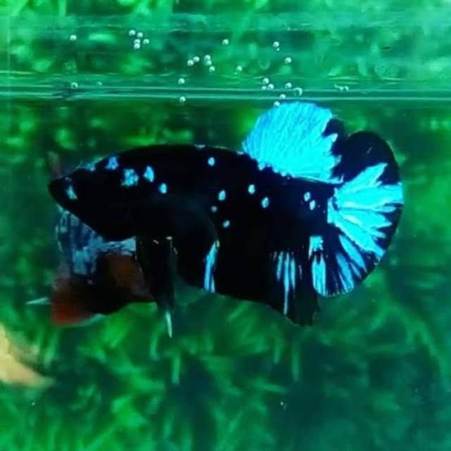 Jual Bibit Ikan Cupang Avatar Gordon Bahanan Ikan Cupang Avatar Gordon Kota Depok Chans Ikan Tokopedia