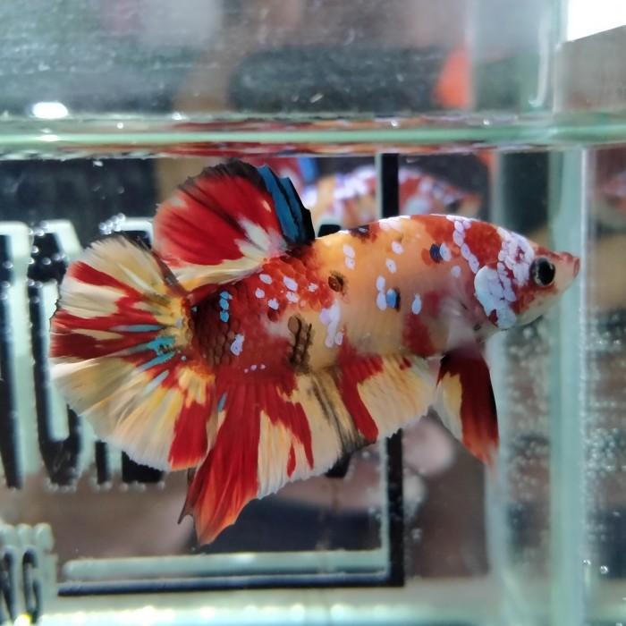 Jual Ikan Cupang Nemo Yellow Base Galaxy Kota Bekasi Cupangdong Tokopedia
