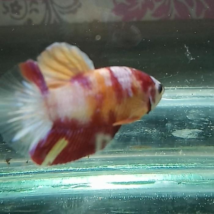 Jual Ikan Cupang Hias Giant Nemo Classic Multicolor Jakarta Selatan Alphabetta Fish Tokopedia