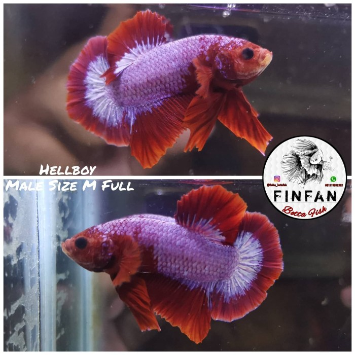 Jual Ikan Cupang Hias Plakat Hellboy Not Koi Nemo Indukan Jakarta Timur Finfanstore Tokopedia