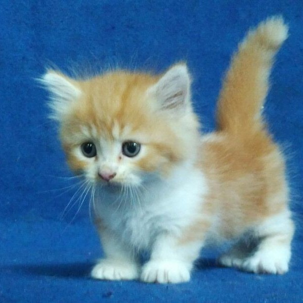 Jual Kucing Munchkin Jantan Kab Cirebon Juniarto Petshop Tokopedia