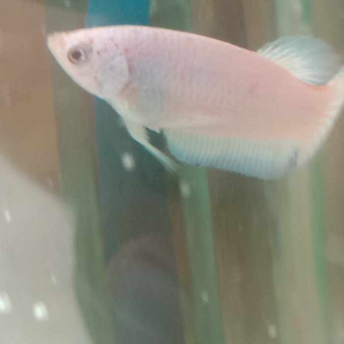Jual Ikan Cupang Blurim Ikan Cupang Blue Rim Thailand Umur 2 Bulan Kab Tangerang Ruslie72 Tokopedia