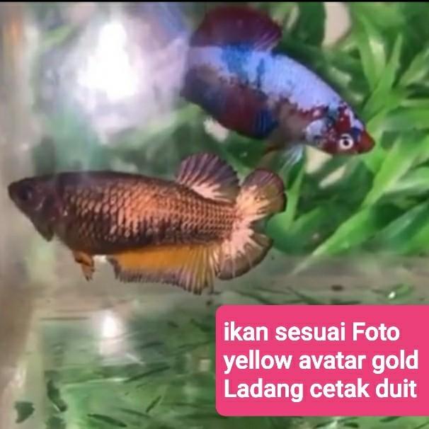 Jual Ikan Cupang Hias Avatar Yellow Cooper Copper Coper Gold Betina Female Kota Semarang D K Aksesoris Tokopedia