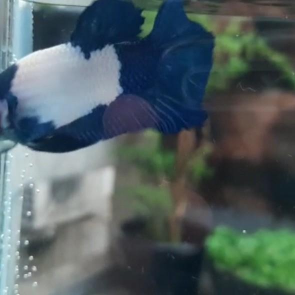 Jual Ikan Cupang Blue Rim Panda Size M Jakarta Timur Sim Betta Fish Tokopedia