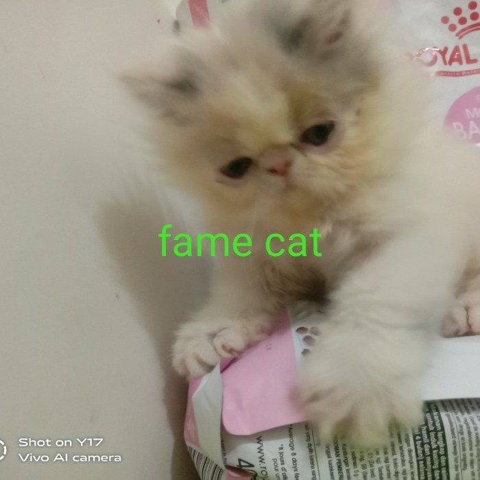 Jual Pesanan Kitten Peaknose Dilute Calico Pengiriman Kereta Penanganan Kab Sidoarjo Fame Cat House Tokopedia