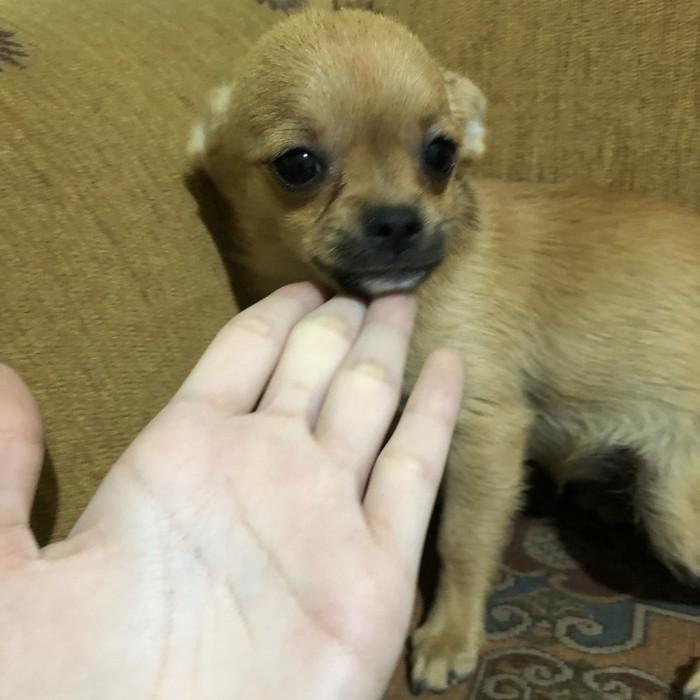 Anjing Pom Mix