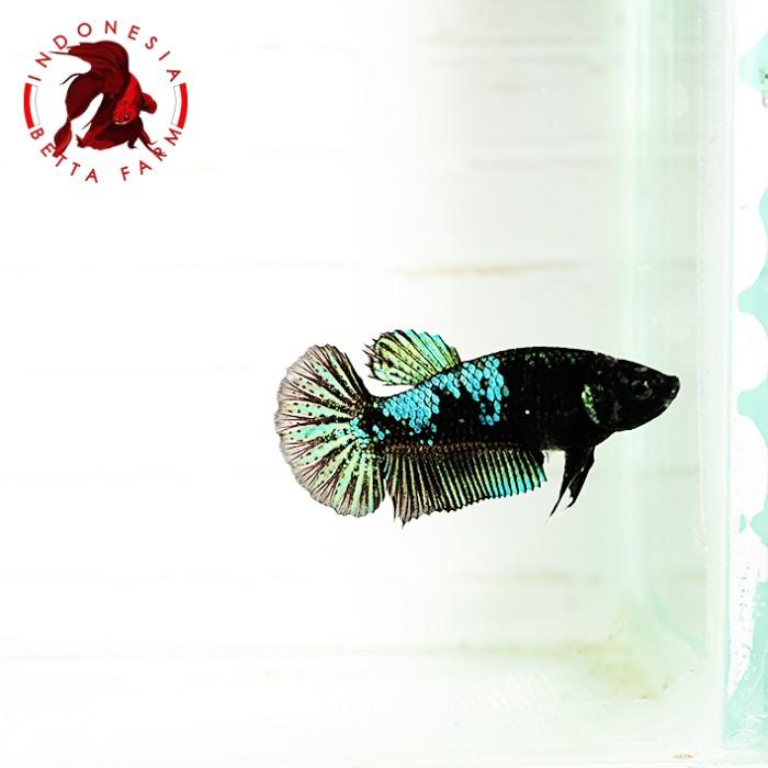 Jual Ikan Hias Cupang Avatar Green Metalic Betina Female 01 Jakarta Utara Cometmart Tokopedia