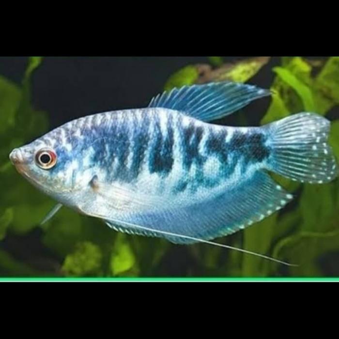 Jual Ikan Hias Sepat Biru Kota Depok Cahaya Ilhami Tokopedia