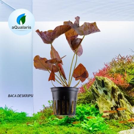 Foto Produk Tiger Lotus dari Aqualaris