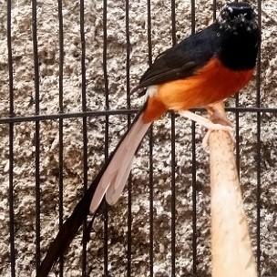 Jual Burung Murai Batu Medan Blorok Pakai Ring Koleksi Pribadi Fullshet Jakarta Timur Shenshop Mandiri24 Tokopedia