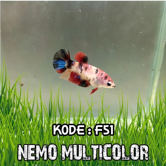 Jual Ikan Cupang Nemo Multicolor Koi Candy Galaxy 14 Female Jakarta Barat Brotherbetta Tokopedia