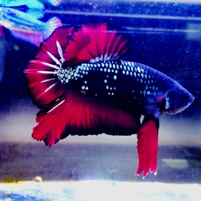 Jual Ikan Cupang Avatar Red Cooper Kab Tangerang T A B Betta Tokopedia