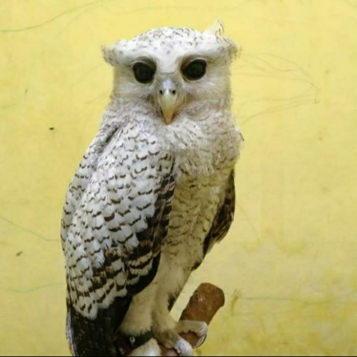 Jual Burung Hantu Bubo Sumatranus Kota Depok Akha24 Store Tokopedia