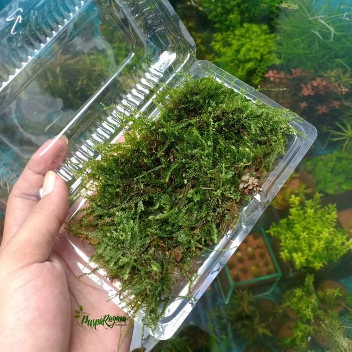 Jual Tanaman Terrarium Paludarium Moss Darat Type 1 Kota Bekasi Pusparagamaquascape Tokopedia