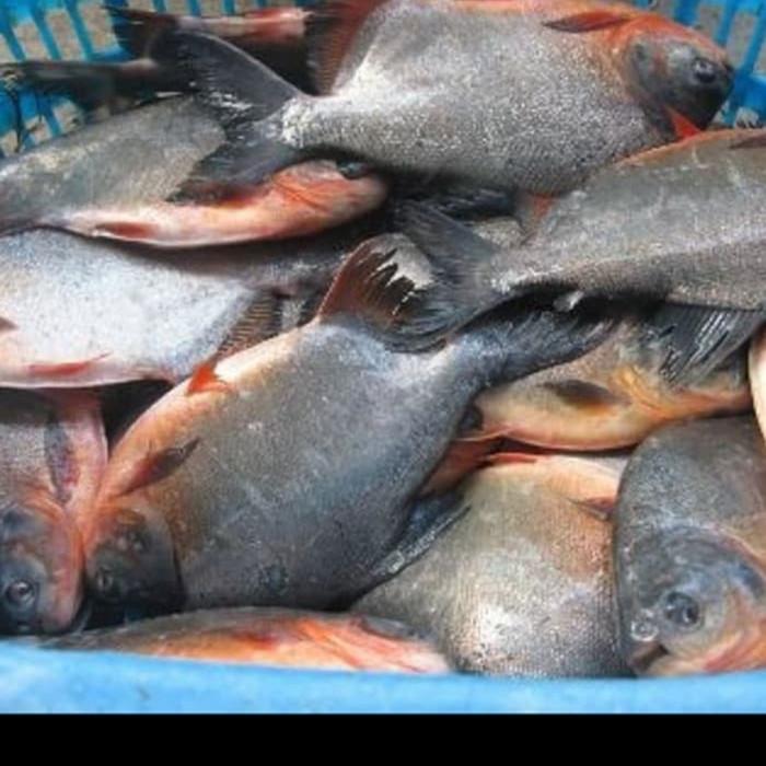 Jual Ikan Bawal Air Tawar Jakarta Selatan Bumbu Sapadi Minang Tokopedia