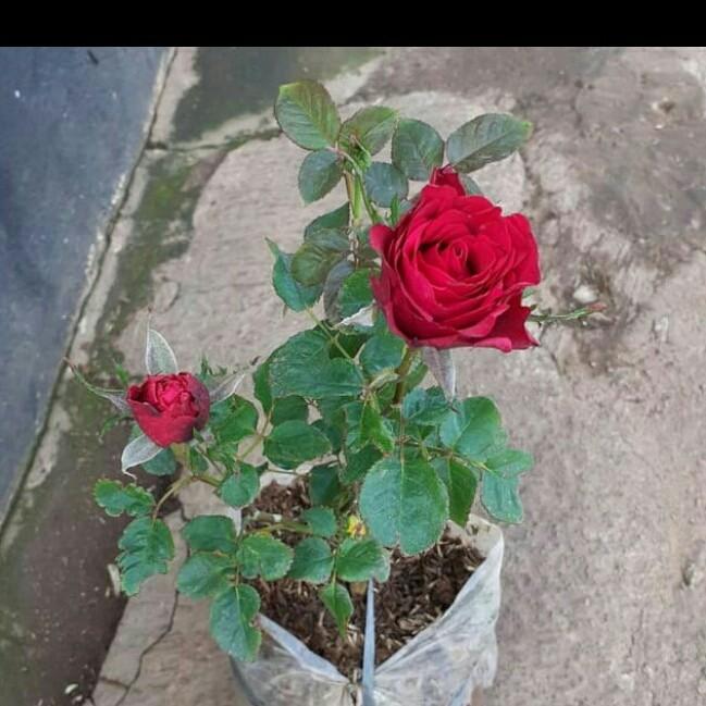 Jual Tanaman Bibit Pohon Bunga Mawar Merah Tinggi Volume 20 30cm Polibek Kab Bogor Enny Taman Tokopedia