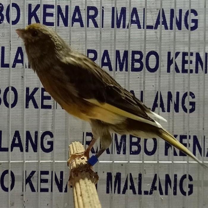 Jual Burung Kenari Betina Siapan Kab Malang Rambokenarimalang Tokopedia