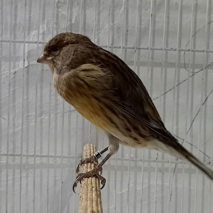 Jual Burung Kenari F2 Ys Betina Kab Malang Rambokenarimalang Tokopedia