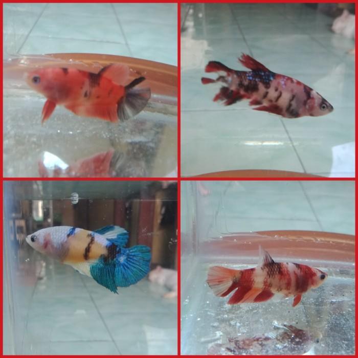Jual Ikan Cupang Koi Nemo Multicolor Fimale Kota Tangerang Shopingonly Tokopedia