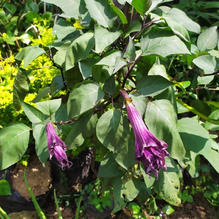 Jual Pohon Bunga Kecubung Ungu Kab Bogor Manflorist Tokopedia