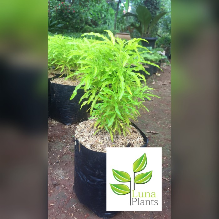 Jual Tanaman Hias Brokoli Kuning Kab Bogor Lunaplants Tokopedia