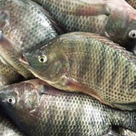 Jual Ikan Nila Per Kg Kota Palembang Sayur Segar Palembang Tokopedia