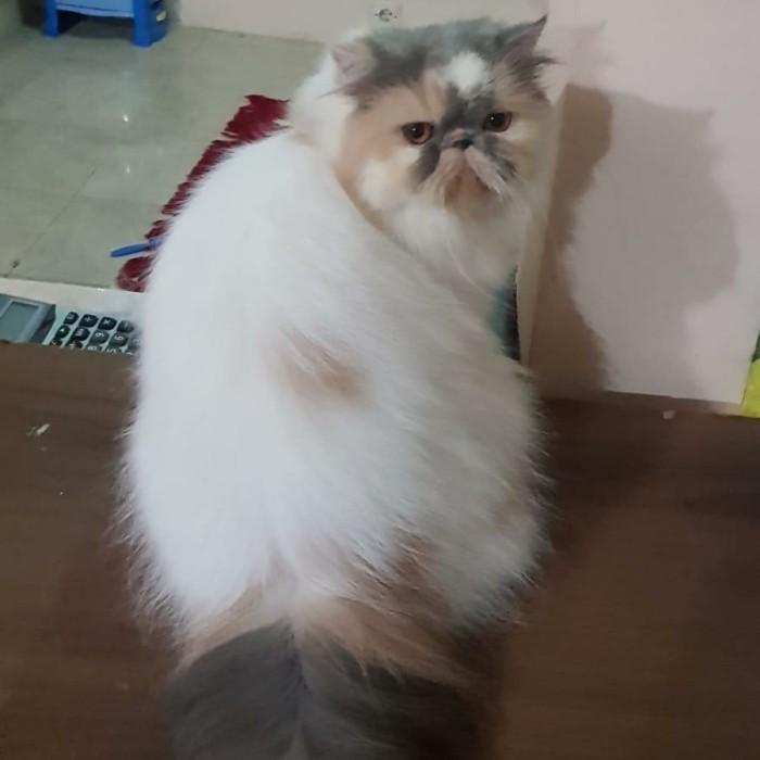 Jual Persian Peak Nose Pedigree Cat Kucing Persian Ras Asli Sertifikasi Kota Medan Sepatu High Quality Tokopedia